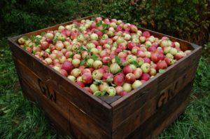 wholesale organic iqf apples bulk apple distributor